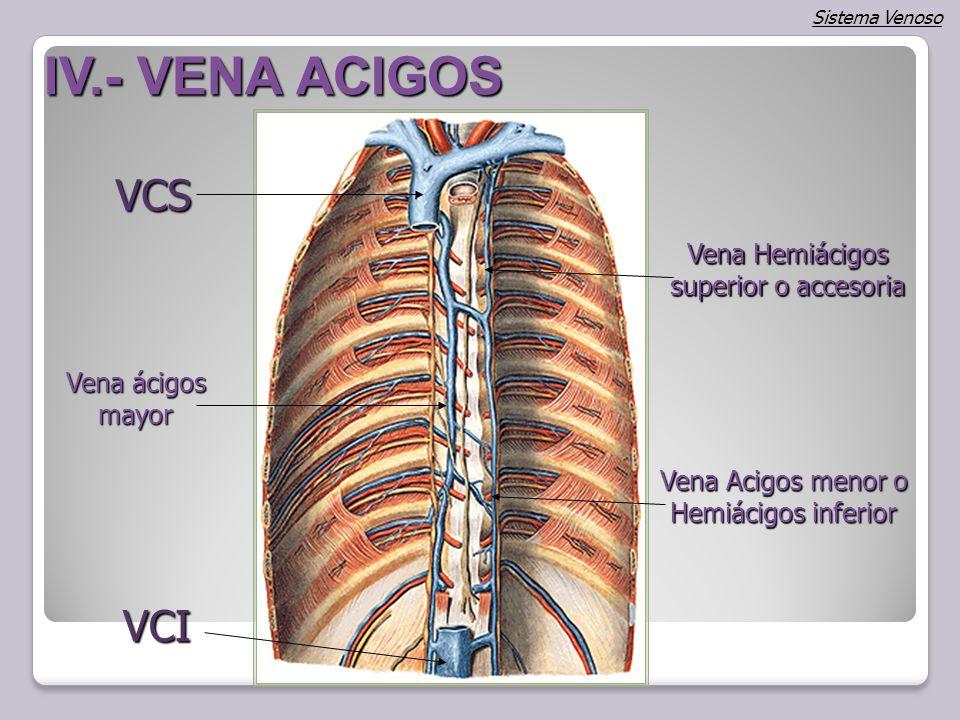 Magnífico Anatomía De La Vena ácigos Bosquejo - Anatomía de Las ...