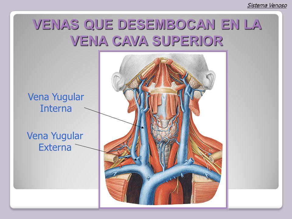 Magnífico Anatomía Vena Yugular Externa Colección de Imágenes ...