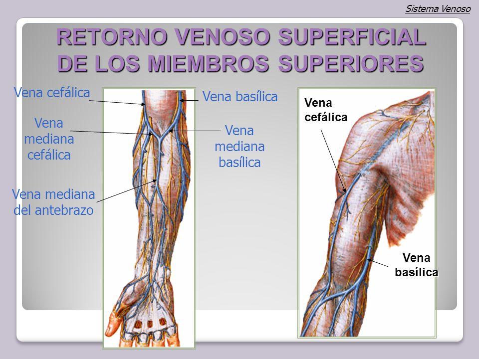 Fantástico Anatomía Venosa Del Brazo Ornamento - Imágenes de ...