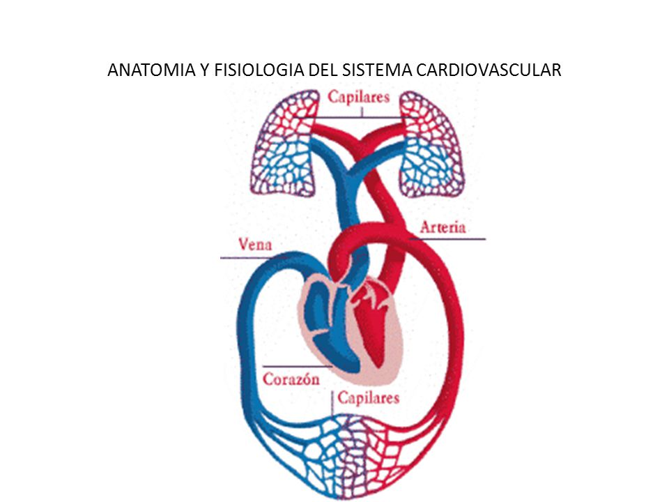 Sistema Cardiovascular - ppt descargar
