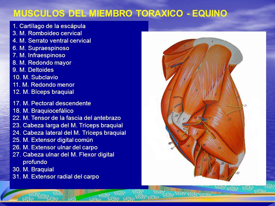 MUSCULOS DEL MIEMBRO TORAXICO - EQUINO