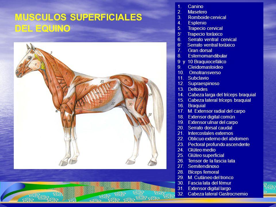 MUSCULOS SUPERFICIALES DEL EQUINO
