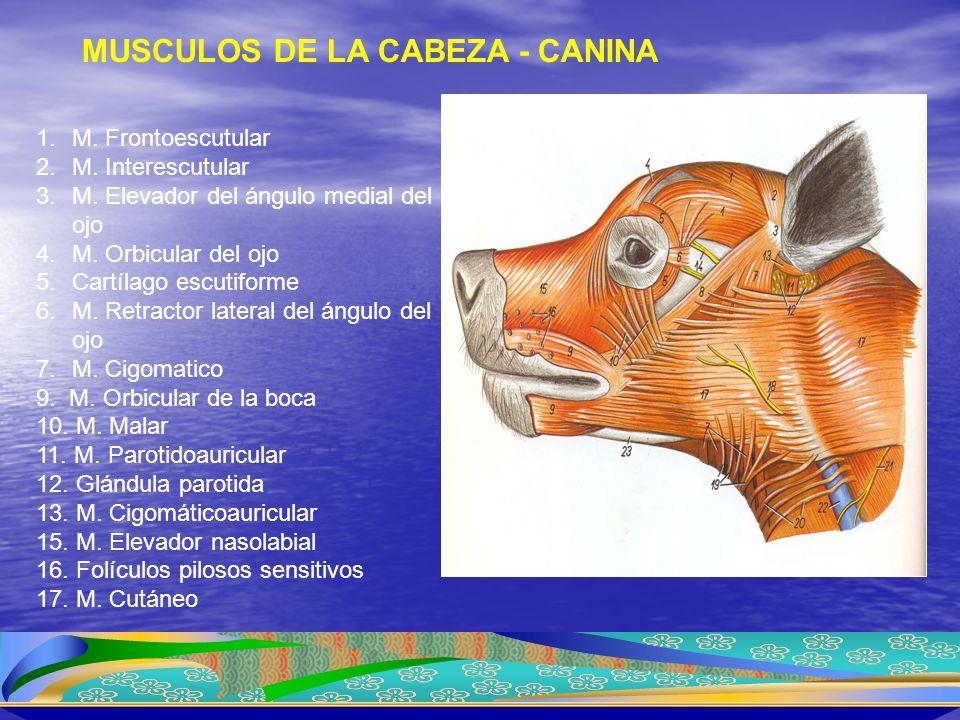 MUSCULOS DE LA CABEZA - CANINA