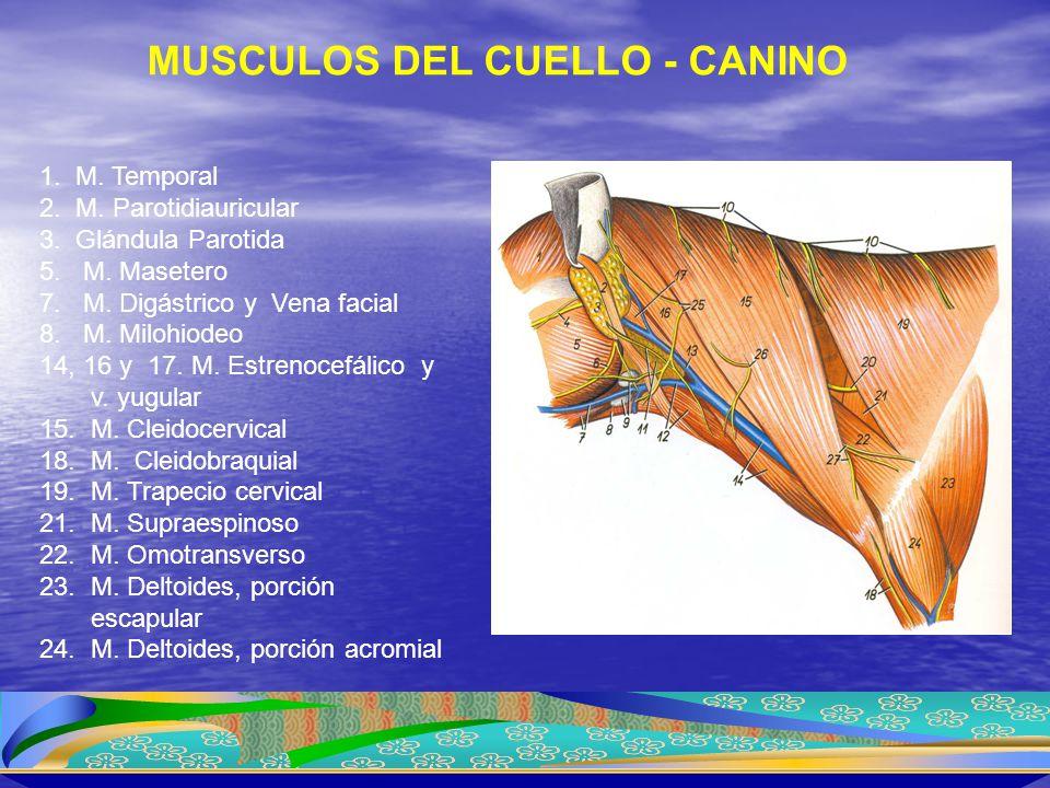 MUSCULOS DEL CUELLO - CANINO