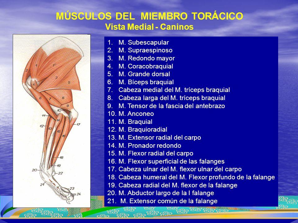 MÚSCULOS DEL MIEMBRO TORÁCICO