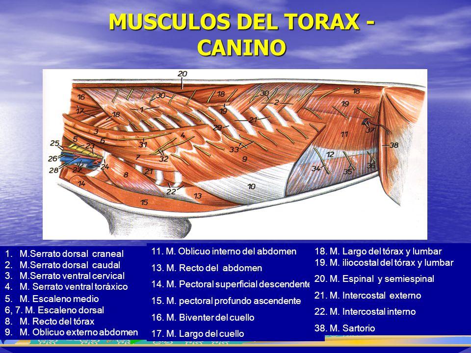 MUSCULOS DEL TORAX - CANINO