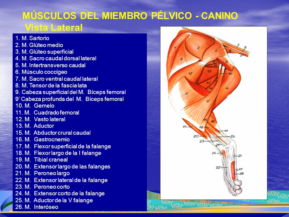 MÚSCULOS DEL MIEMBRO PÉLVICO - CANINO Vista Lateral