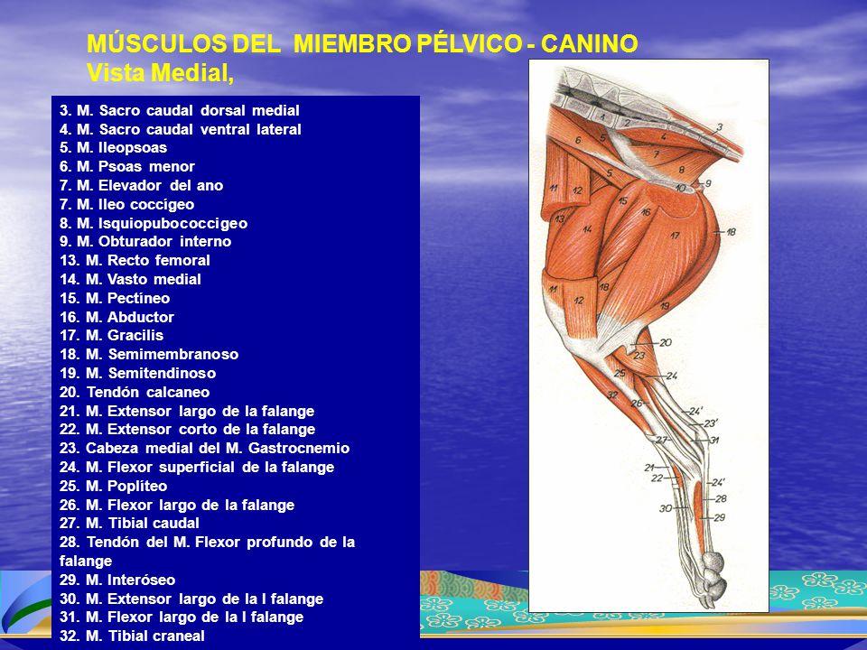 MÚSCULOS DEL MIEMBRO PÉLVICO - CANINO Vista Medial,