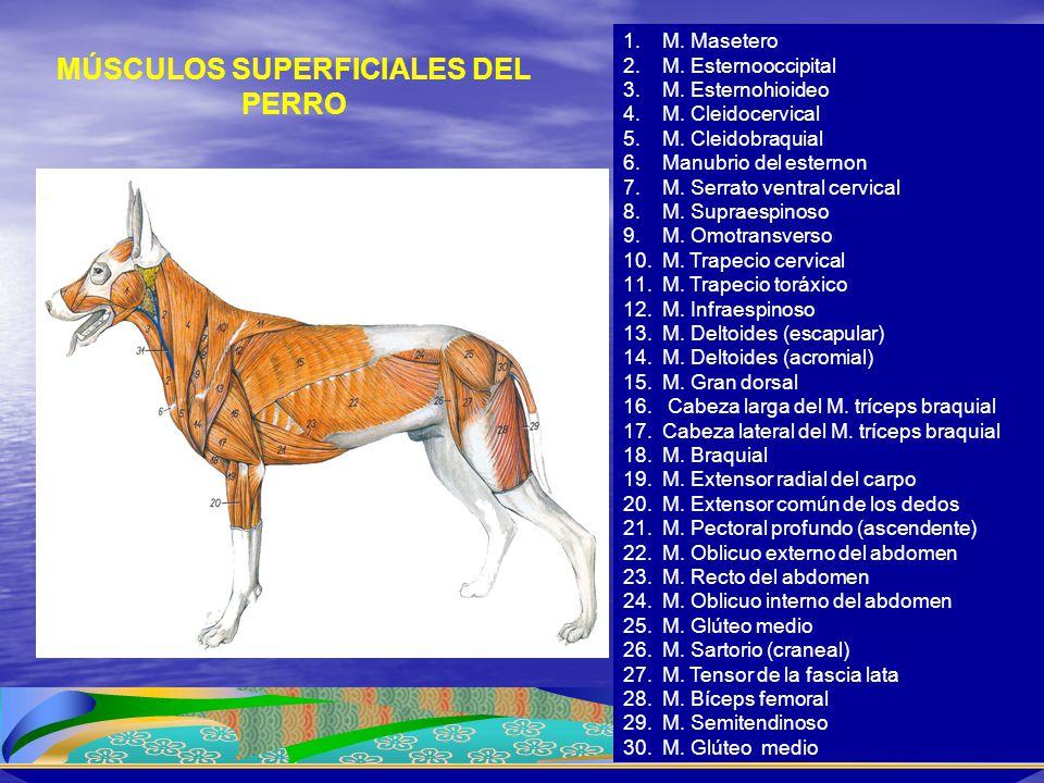 MÚSCULOS SUPERFICIALES DEL PERRO