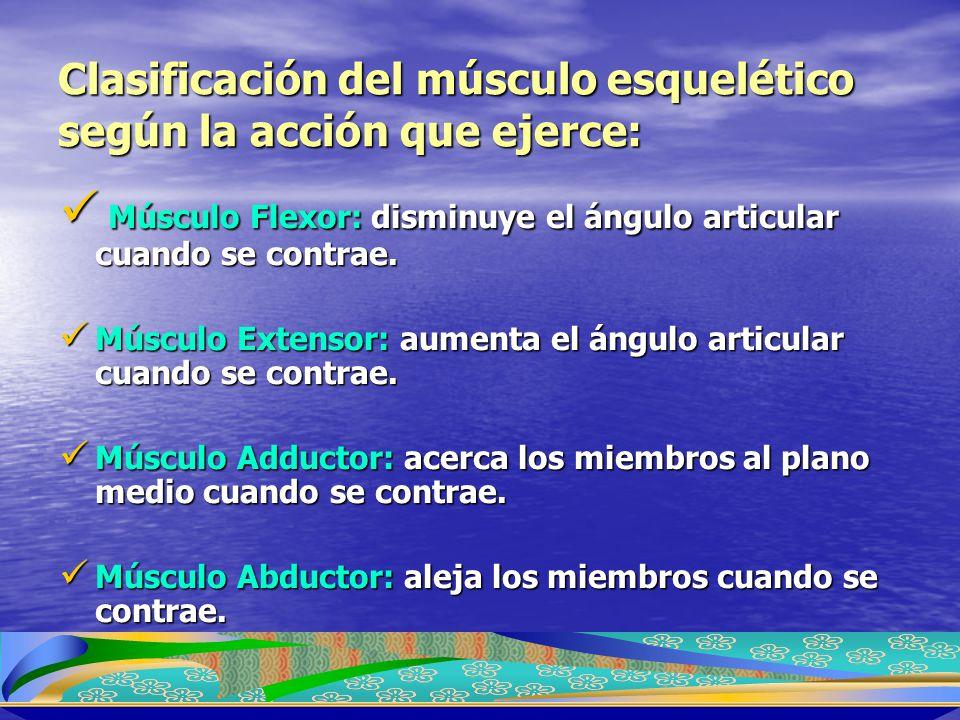 Clasificación del músculo esquelético según la acción que ejerce: