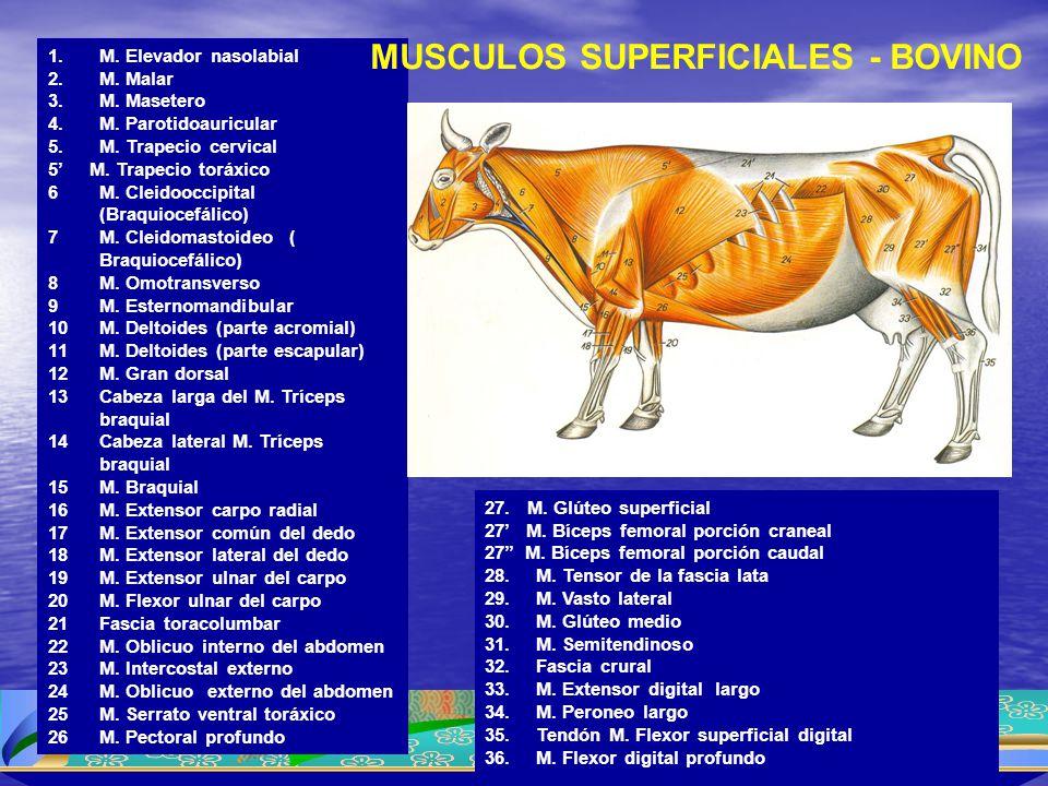MUSCULOS SUPERFICIALES - BOVINO