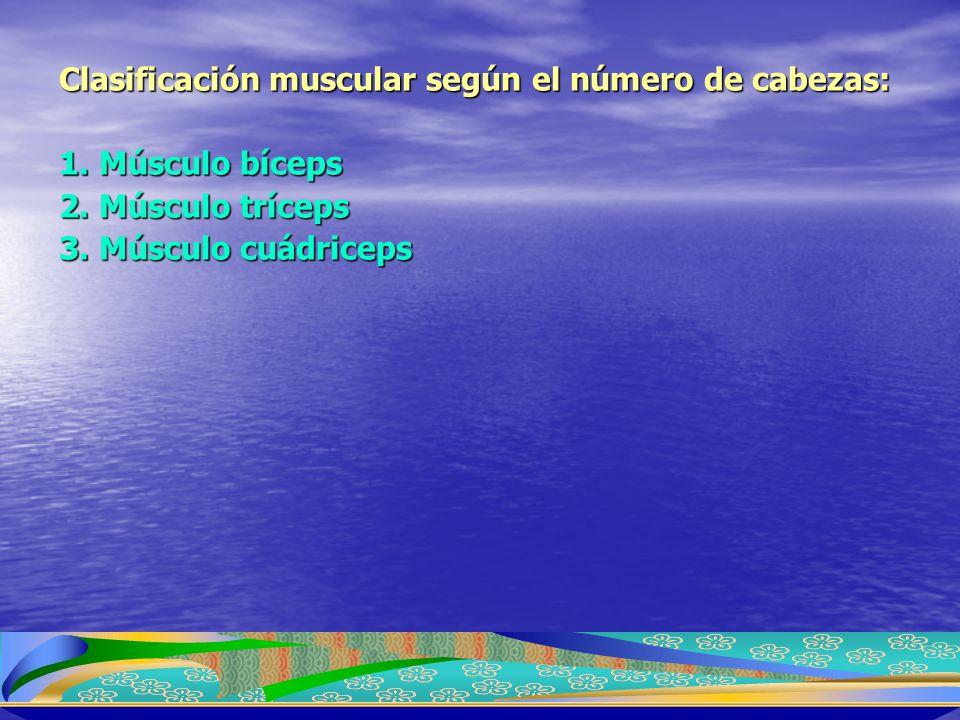 Clasificación muscular según el número de cabezas: