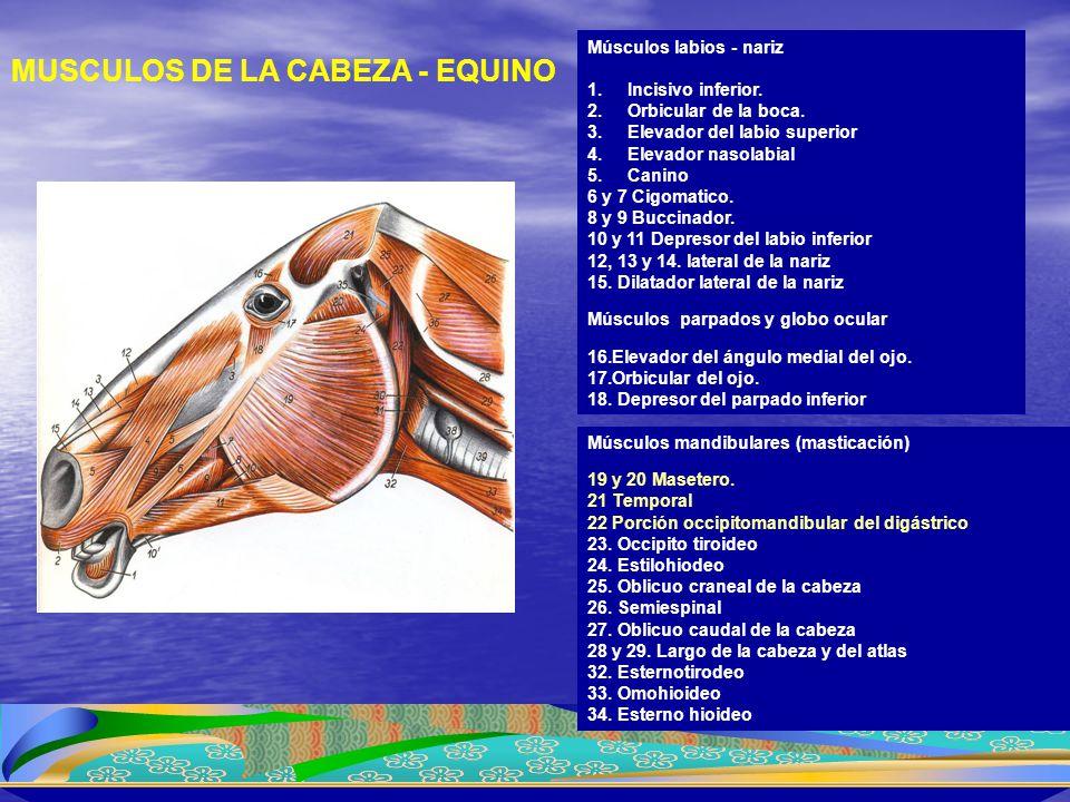 MUSCULOS DE LA CABEZA - EQUINO