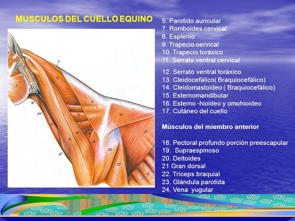 MUSCULOS DEL CUELLO EQUINO