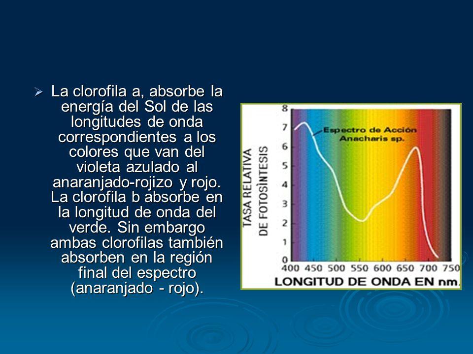 La clorofila a, absorbe la energía del Sol de las longitudes de onda correspondientes a los colores que van del violeta azulado al anaranjado-rojizo y rojo.