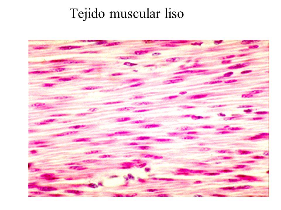 Excelente Tejido Muscular Liso Imágenes - Anatomía de Las ...