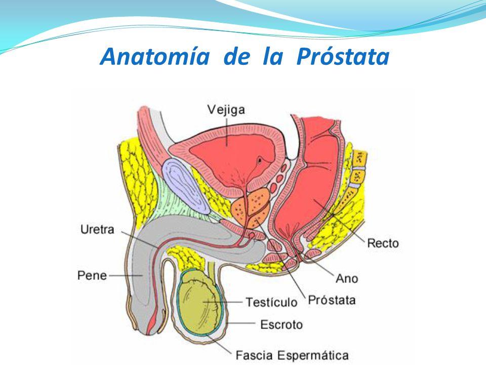 Moderno Vejiga Y La Próstata Anatomía Imagen - Anatomía de Las ...