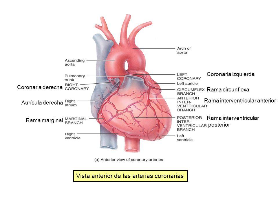 Encantador Anatomía De La Arteria Coronaria Izquierda Colección ...