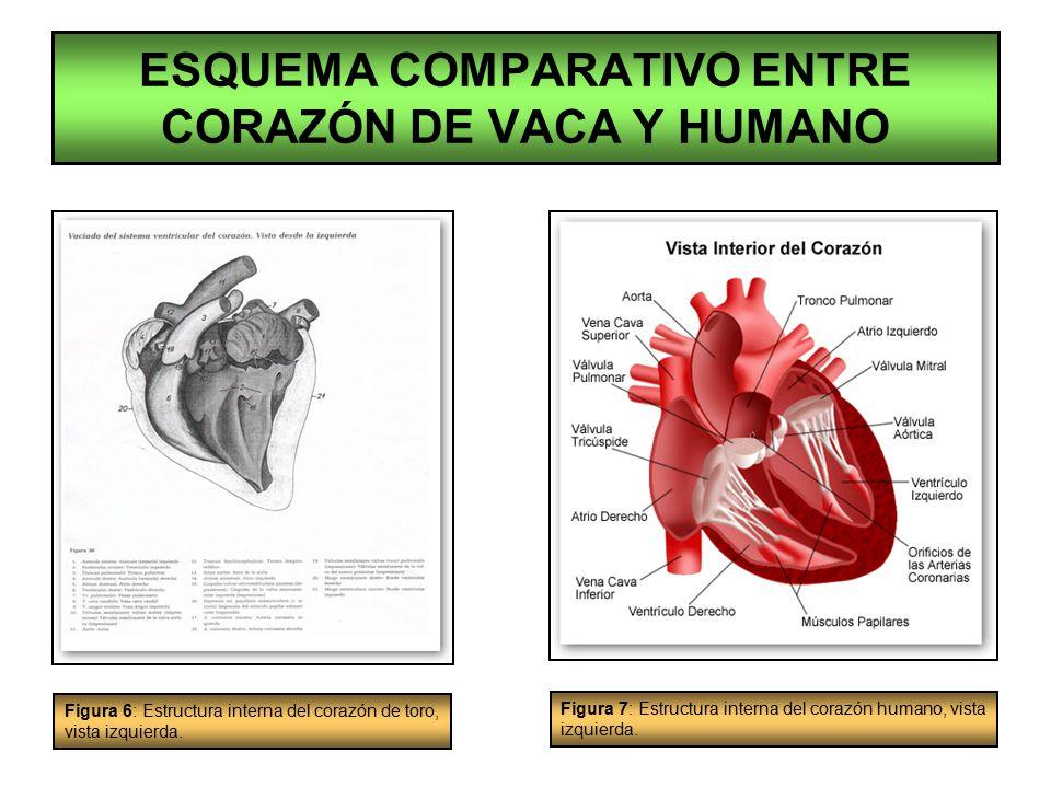Encantador Diagrama Del Corazón Humano Inspiración - Anatomía de Las ...