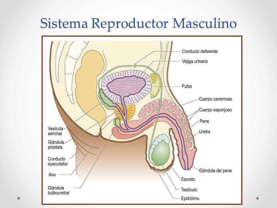 Lujoso Anatomía Y Fisiología Del Sistema Reproductivo Prueba ...