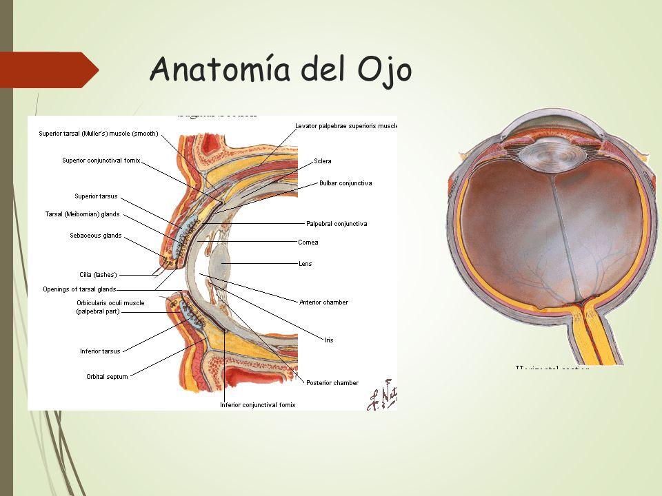 Famoso Cul De Sac Anatomía Ornamento - Imágenes de Anatomía Humana ...