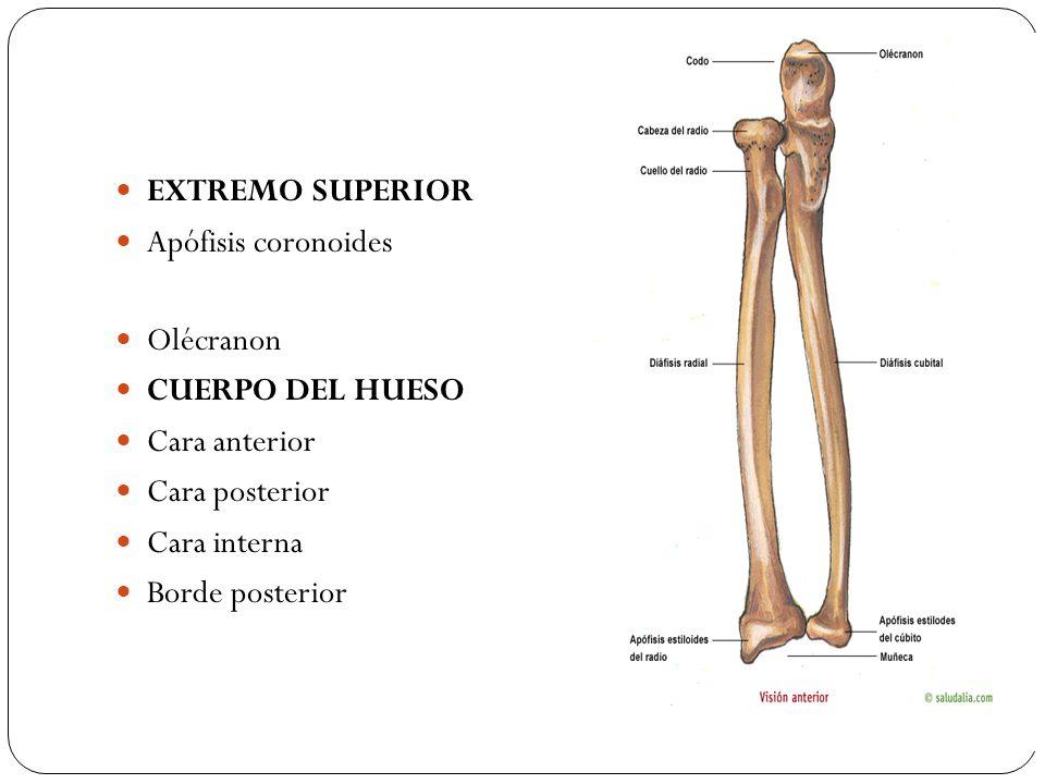Famoso Olécranon Definición Anatomía Imagen - Anatomía de Las ...