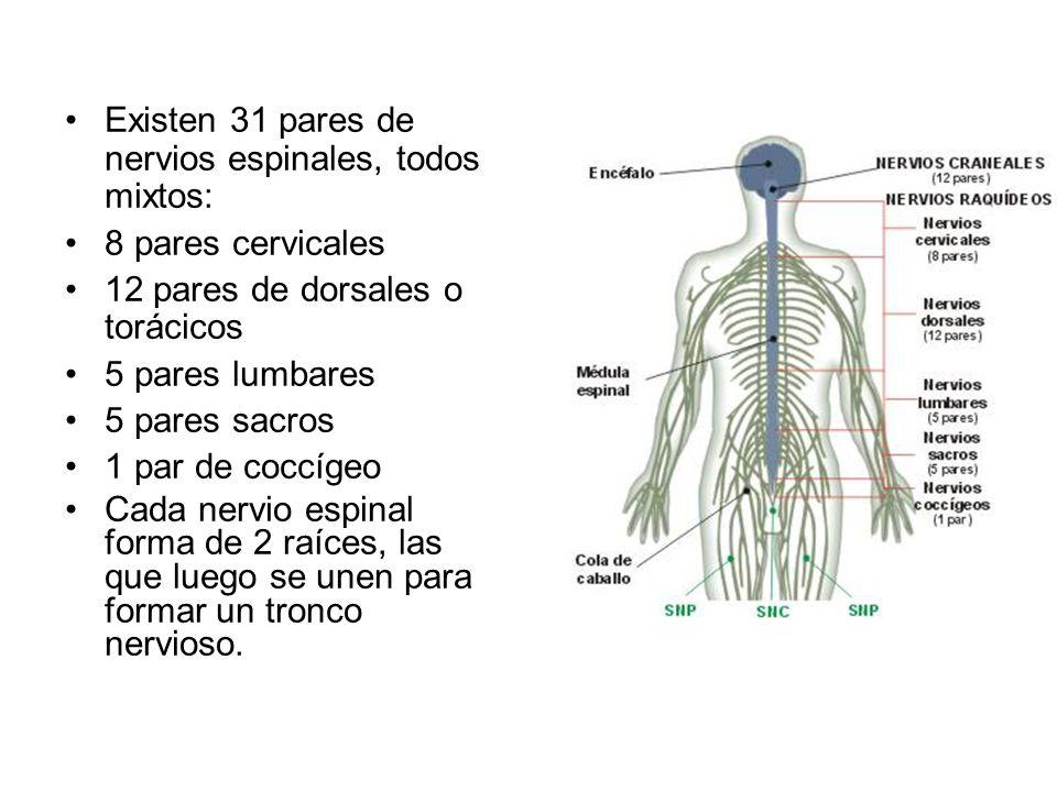 Excepcional Diagrama De Nervio Espinal Ornamento - Imágenes de ...