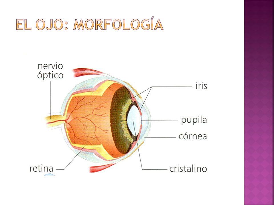 El ojo: morfología