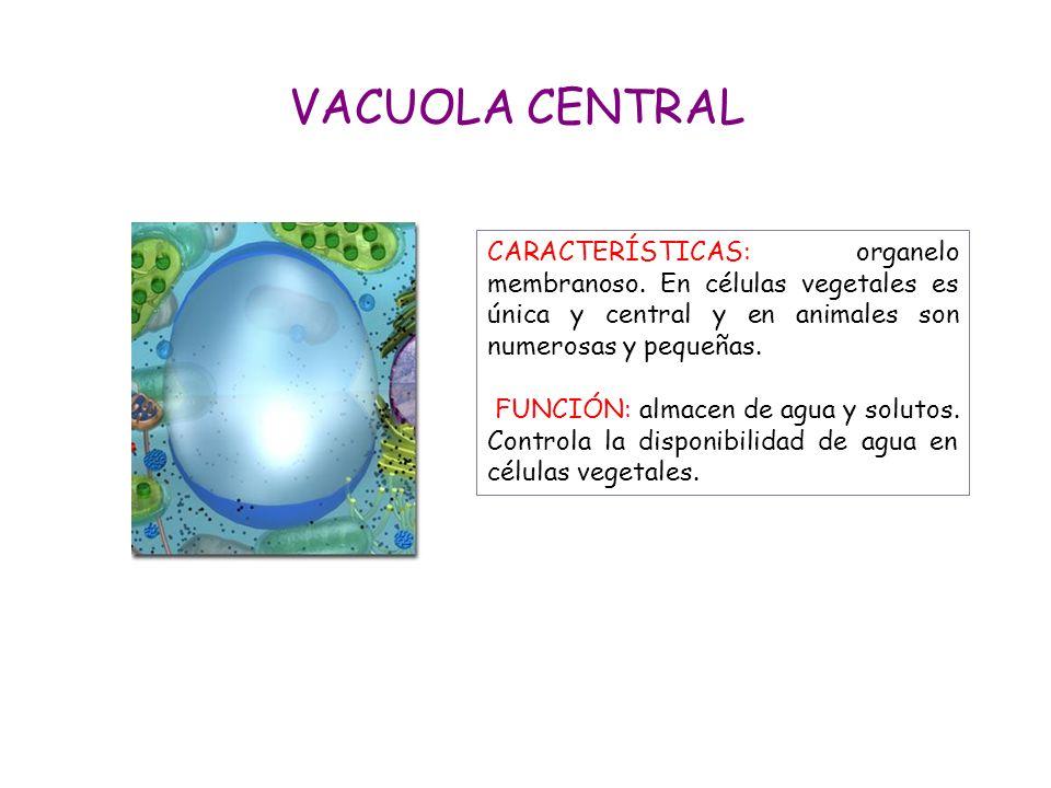 VACUOLA CENTRAL CARACTERÍSTICAS: organelo membranoso. En células vegetales es única y central y en animales son numerosas y pequeñas.