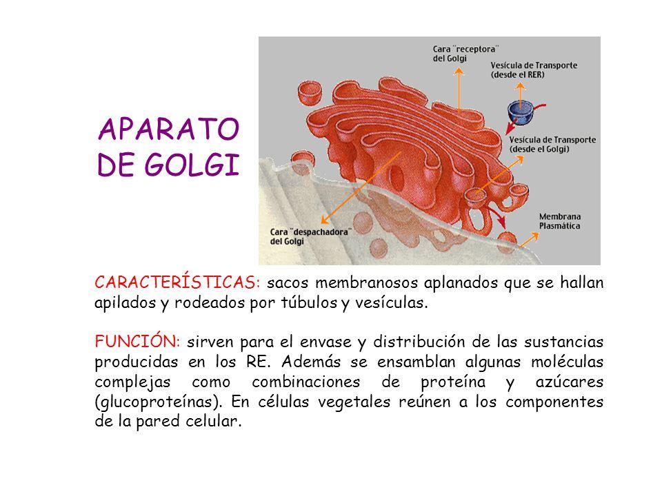 APARATO DE GOLGI. CARACTERÍSTICAS: sacos membranosos aplanados que se hallan apilados y rodeados por túbulos y vesículas.