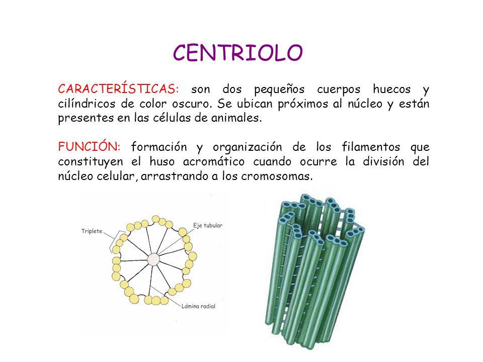 CENTRIOLO
