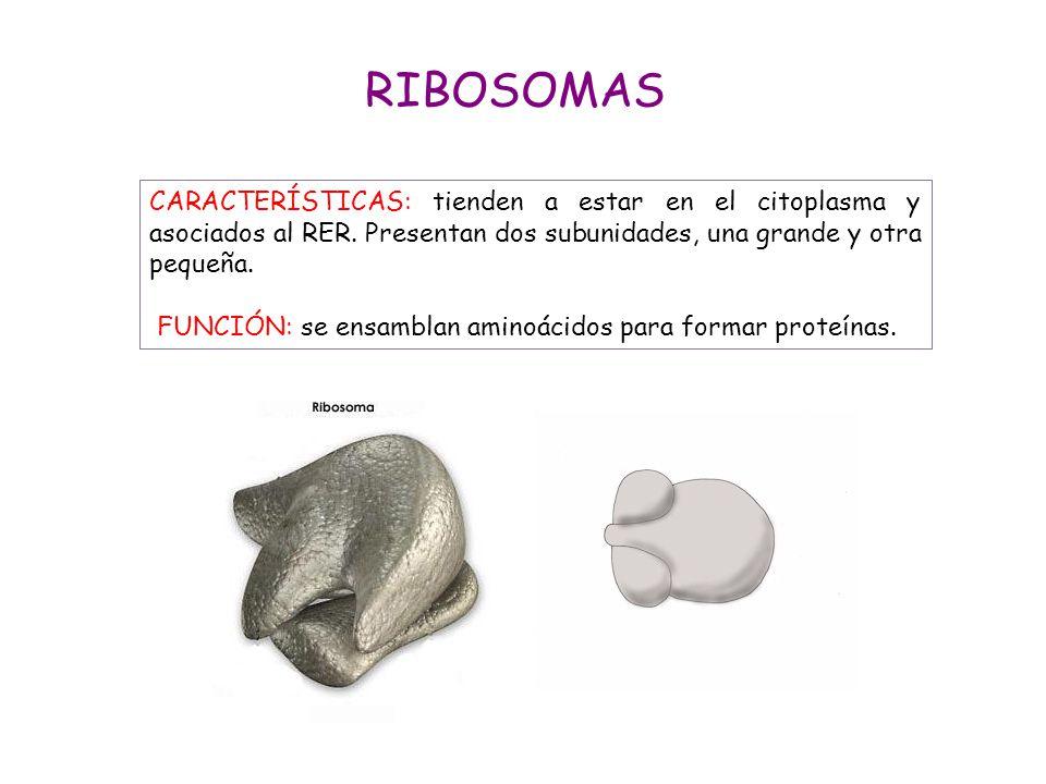 RIBOSOMAS CARACTERÍSTICAS: tienden a estar en el citoplasma y asociados al RER. Presentan dos subunidades, una grande y otra pequeña.