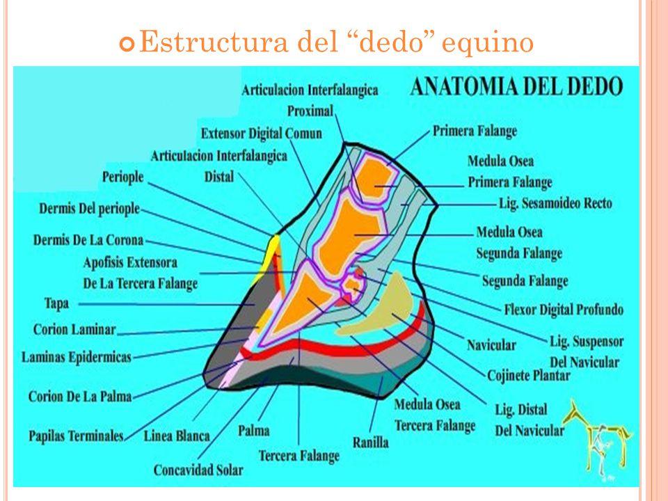 Estructura del dedo equino