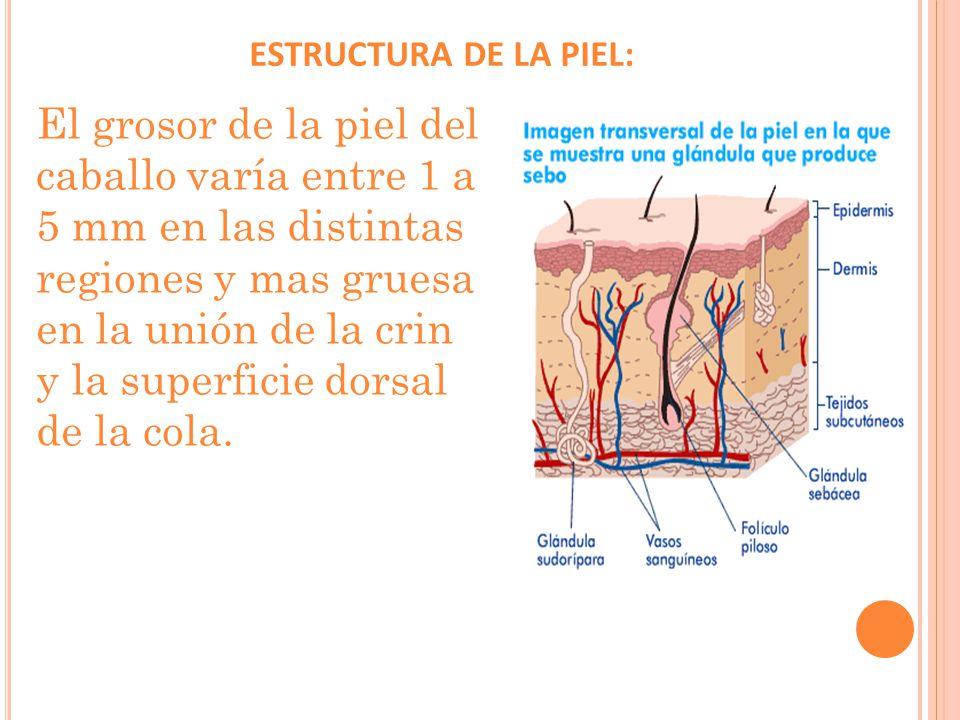 ESTRUCTURA DE LA PIEL: