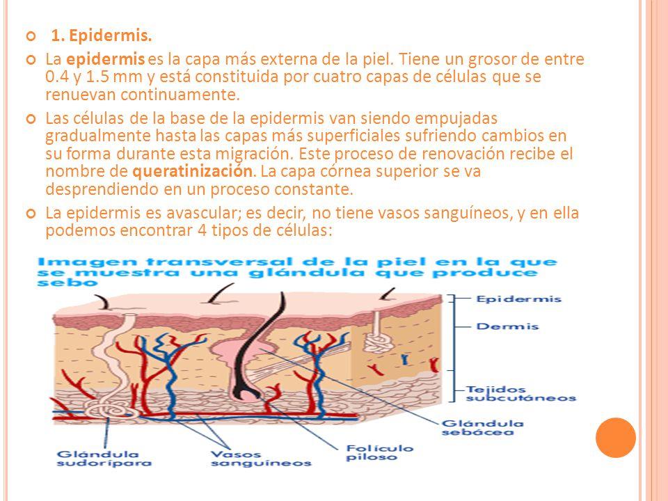 1. Epidermis.