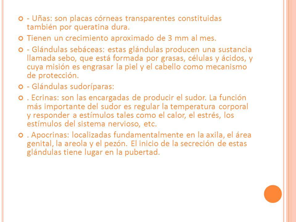 - Uñas: son placas córneas transparentes constituidas también por queratina dura.