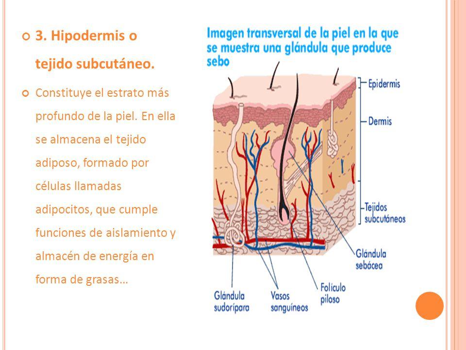 3. Hipodermis o tejido subcutáneo.