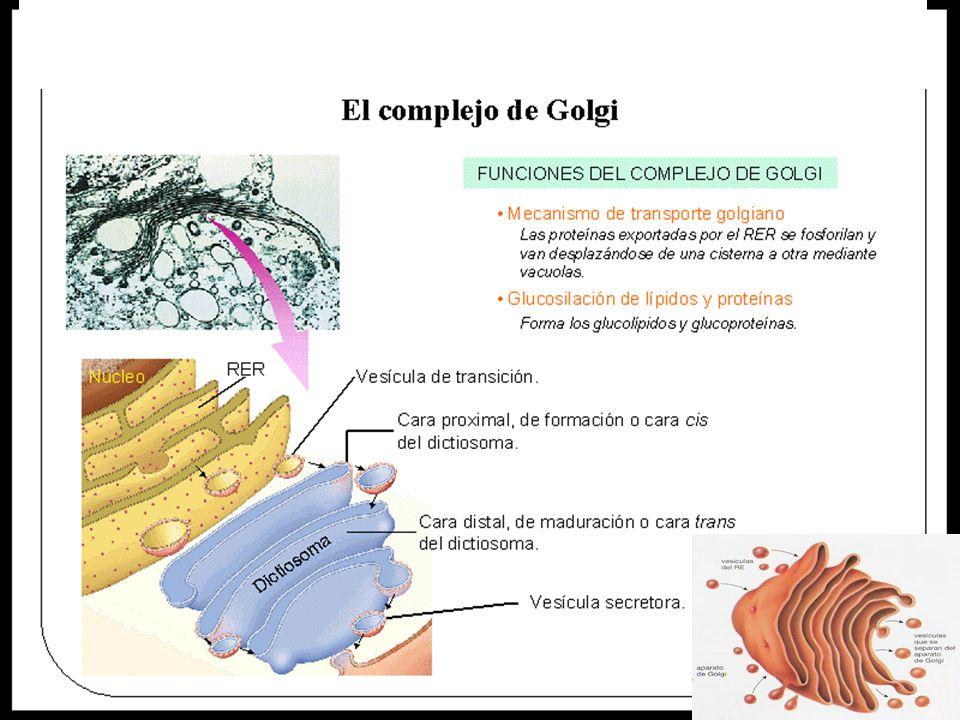 c) Aparato o complejo de Golgi.