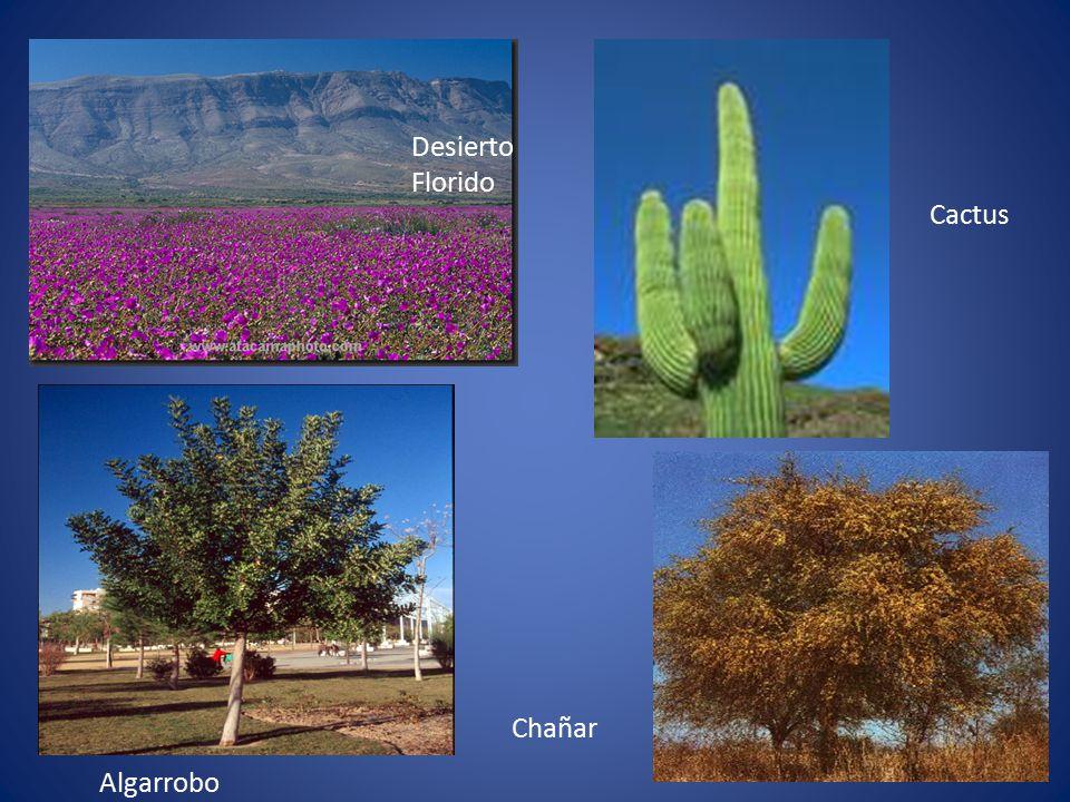 Desierto Florido Cactus Chañar Algarrobo