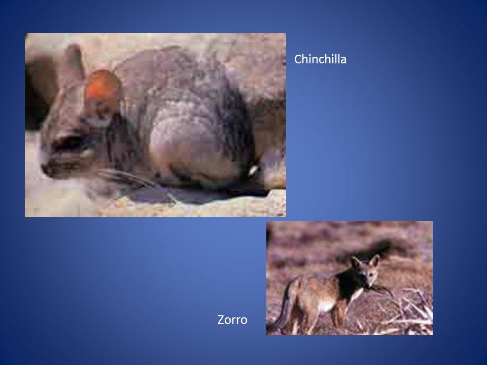 Chinchilla Zorro