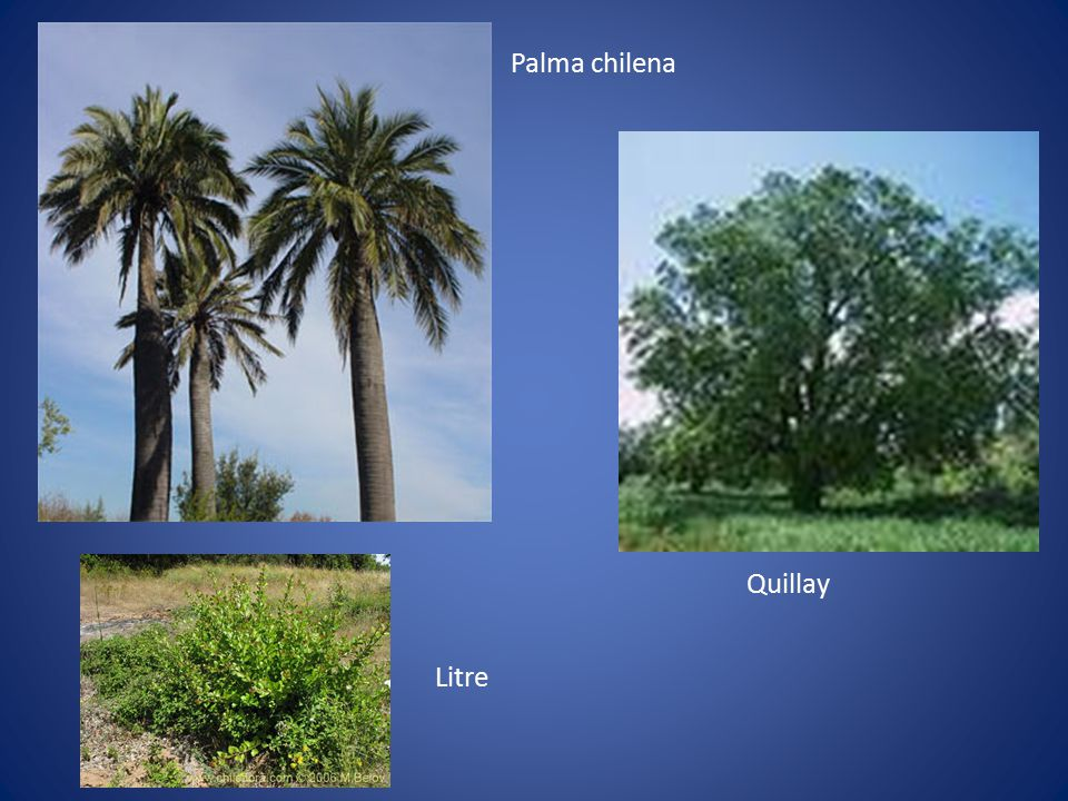 Palma chilena Quillay Litre