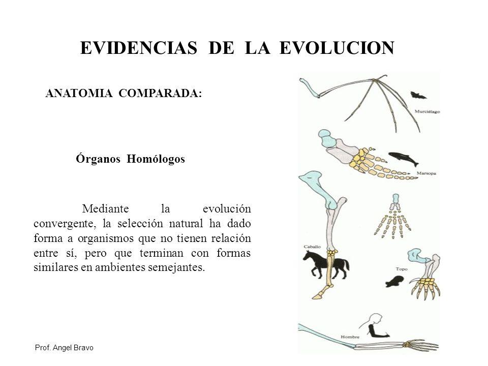 Dorable Cómo La Anatomía Proporcionar Evidencia De La Evolución ...