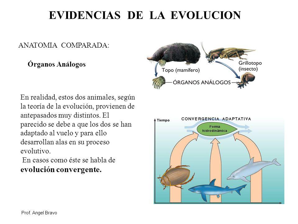 Vistoso Cómo La Anatomía Proporcionar Evidencia De La Evolución ...