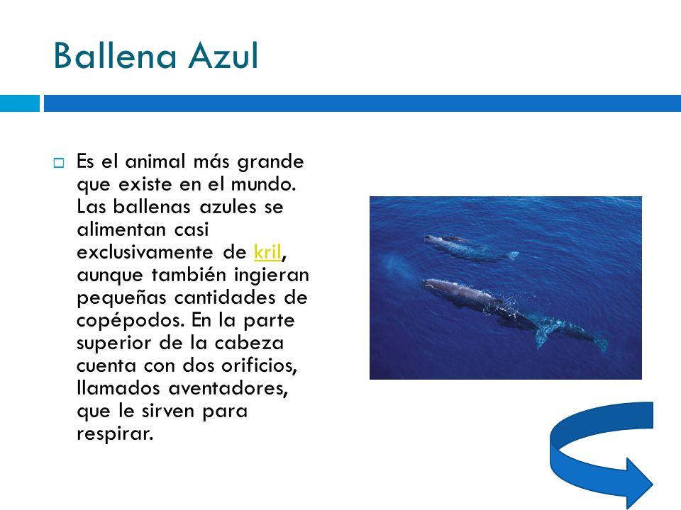Contemporáneo Anatomía De Una Ballena Azul Componente - Anatomía de ...