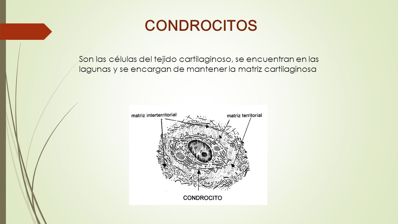 CONDROCITOS Son las células del tejido cartilaginoso, se encuentran en las lagunas y se encargan de mantener la matriz cartilaginosa.