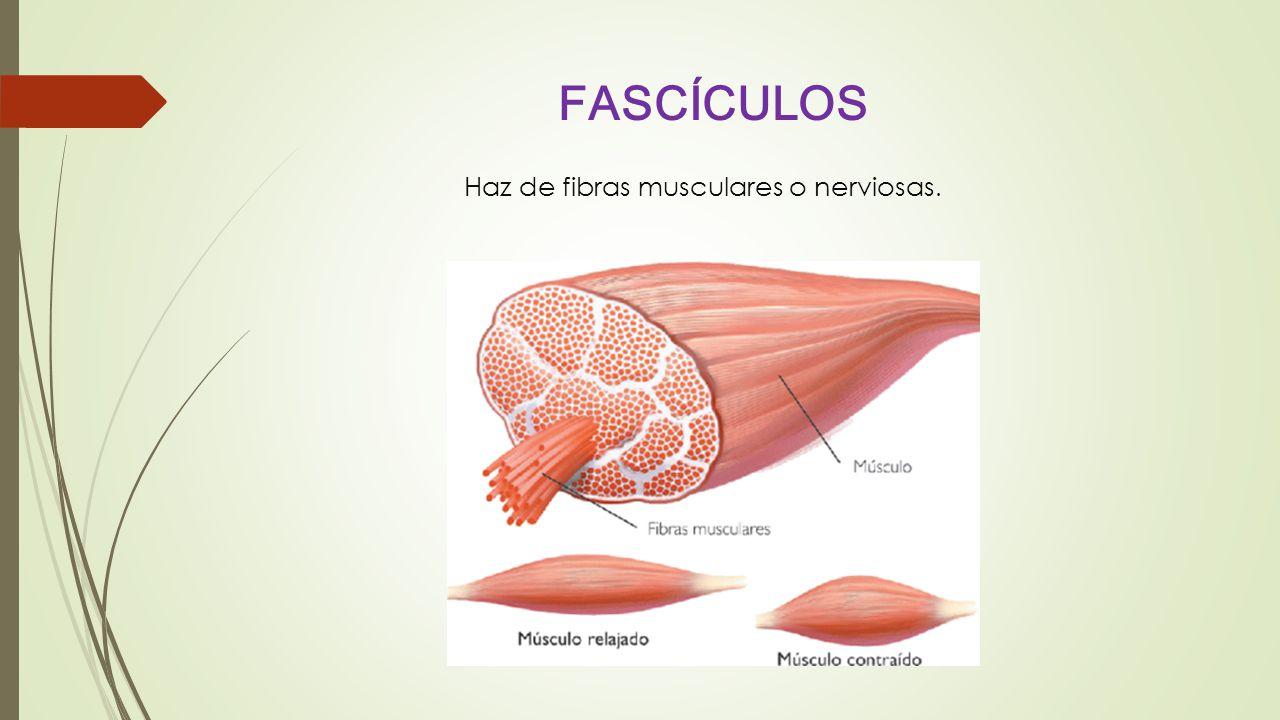 FASCÍCULOS Haz de fibras musculares o nerviosas.