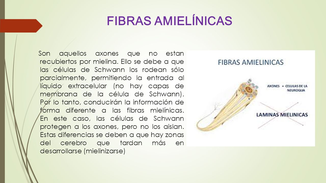 FIBRAS AMIELÍNICAS