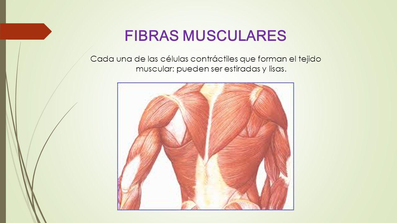 FIBRAS MUSCULARES Cada una de las células contráctiles que forman el tejido muscular: pueden ser estiradas y lisas.