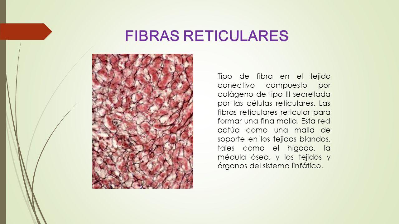 FIBRAS RETICULARES