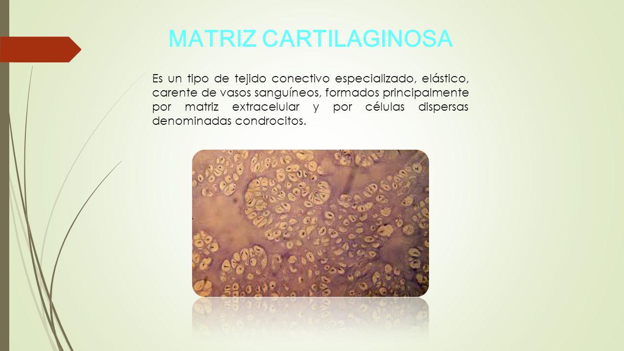 MATRIZ CARTILAGINOSA
